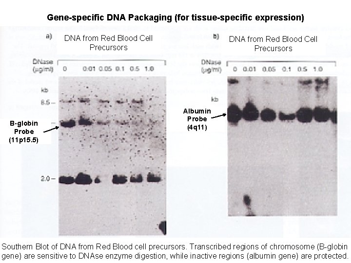 Gene-specific DNA Packaging (for tissue-specific expression) DNA from Red Blood Cell Precursors B-globin Probe