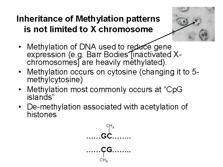 Inheritance of Methylation patterns is not limited to X chromosome • Methylation of DNA