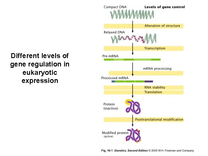 Different levels of gene regulation in eukaryotic expression