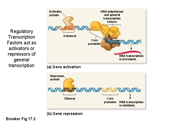 RNA polymerase and general transcription factors Activator protein Regulatory Transcription Factors act as activators