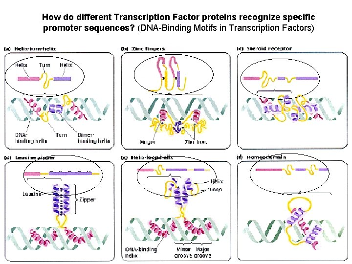 How do different Transcription Factor proteins recognize specific promoter sequences? (DNA-Binding Motifs in Transcription