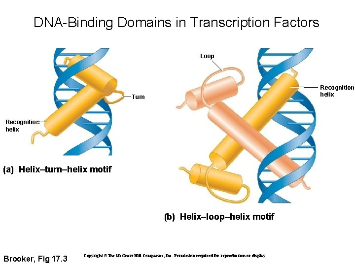 DNA-Binding Domains in Transcription Factors Loop Recognition helix Turn Recognition helix (a) Helix–turn–helix motif