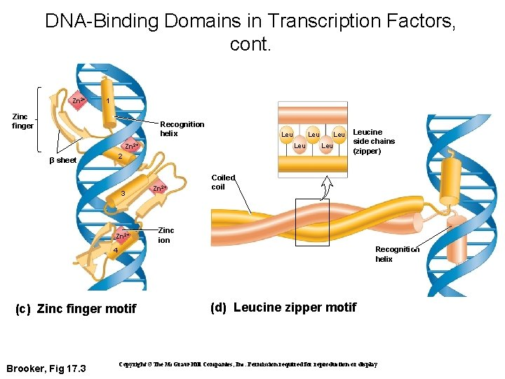 DNA-Binding Domains in Transcription Factors, cont. Zn 2+ 1 Zinc finger Recognition helix Leu