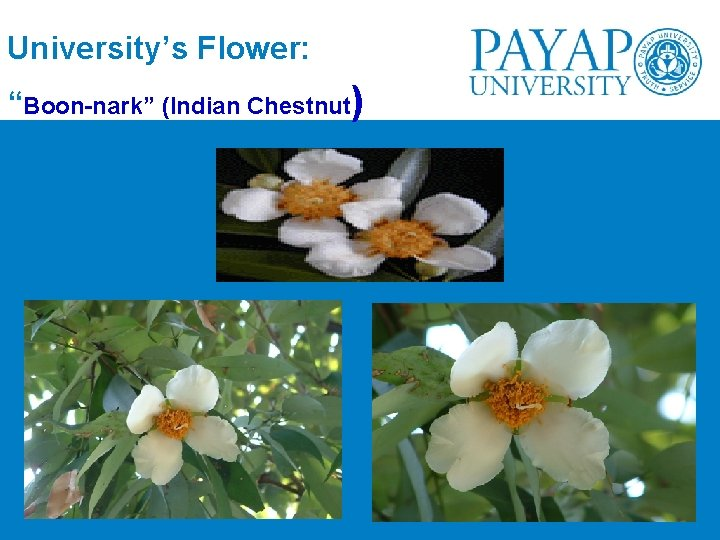 "University's Flower: ""Boon-nark"" (Indian Chestnut)"