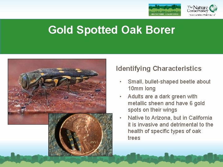 Gold Spotted Oak Borer Identifying Characteristics • • • Small, bullet-shaped beetle about 10