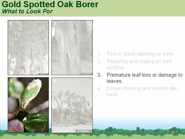Gold Spotted Oak Borer What to Look For 1 3 2 4 1. Red