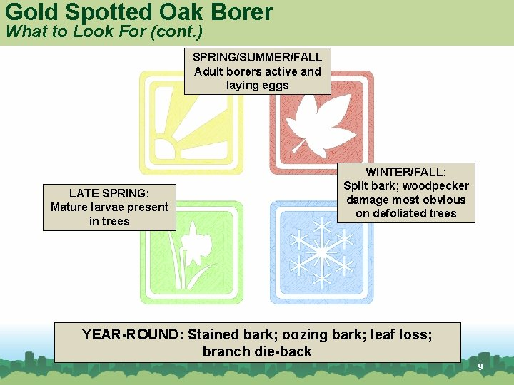Gold Spotted Oak Borer What to Look For (cont. ) SPRING/SUMMER/FALL Adult borers active