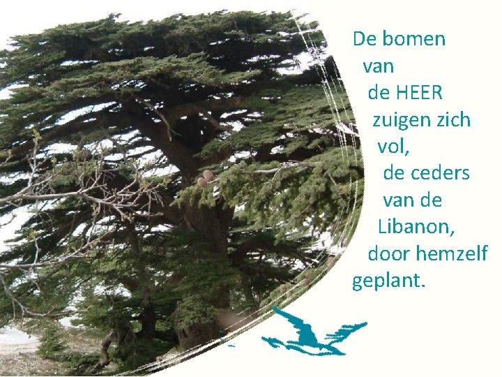 De bomen van de HEER zuigen zich vol, de ceders van de Libanon, door
