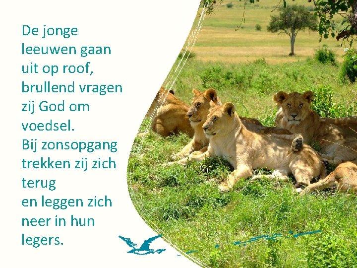 De jonge leeuwen gaan uit op roof, brullend vragen zij God om voedsel. Bij