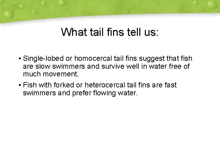 What tail fins tell us: • Single-lobed or homocercal tail fins suggest that fish