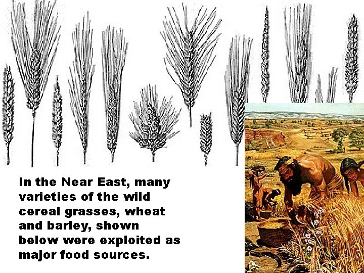 In the Near East, many varieties of the wild cereal grasses, wheat and barley,