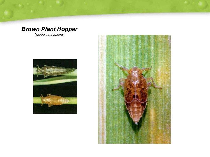 Brown Plant Hopper Nilaparvata lugens
