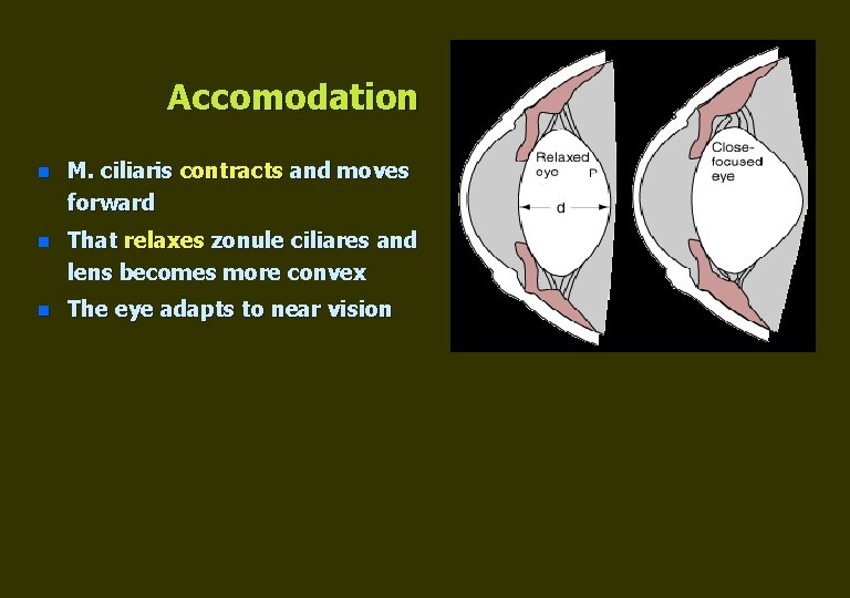 Accomodation n M. ciliaris contracts and moves forward n That relaxes zonule ciliares and
