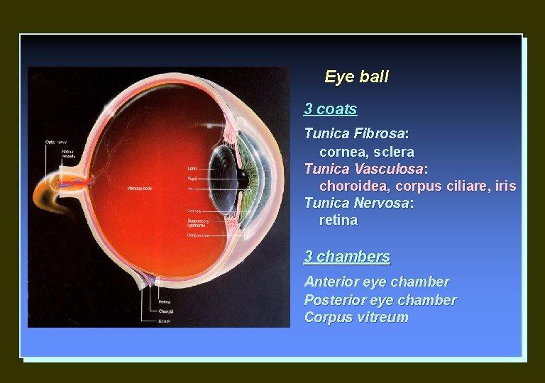 Eye ball 3 coats Tunica Fibrosa: cornea, sclera Tunica Vasculosa: choroidea, corpus ciliare, iris
