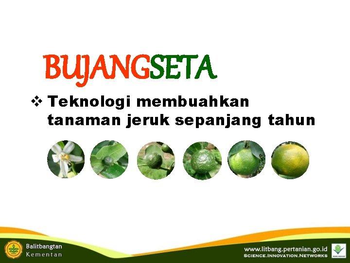 BUJANGSETA v Teknologi membuahkan tanaman jeruk sepanjang tahun