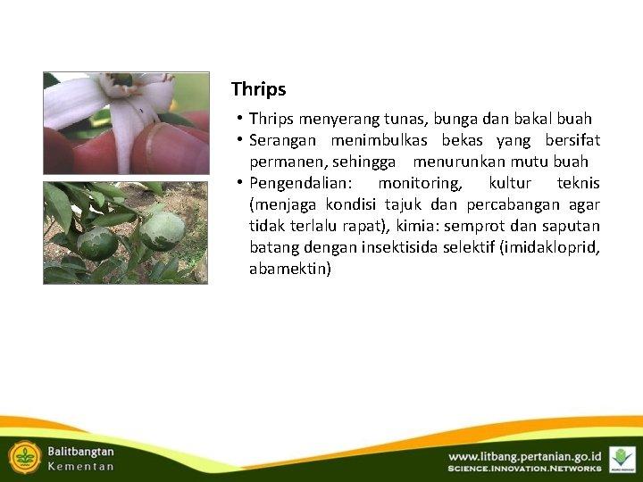 Thrips • Thrips menyerang tunas, bunga dan bakal buah • Serangan menimbulkas bekas yang