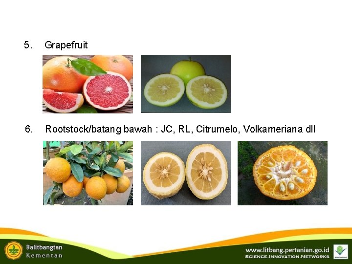 5. Grapefruit 6. Rootstock/batang bawah : JC, RL, Citrumelo, Volkameriana dll