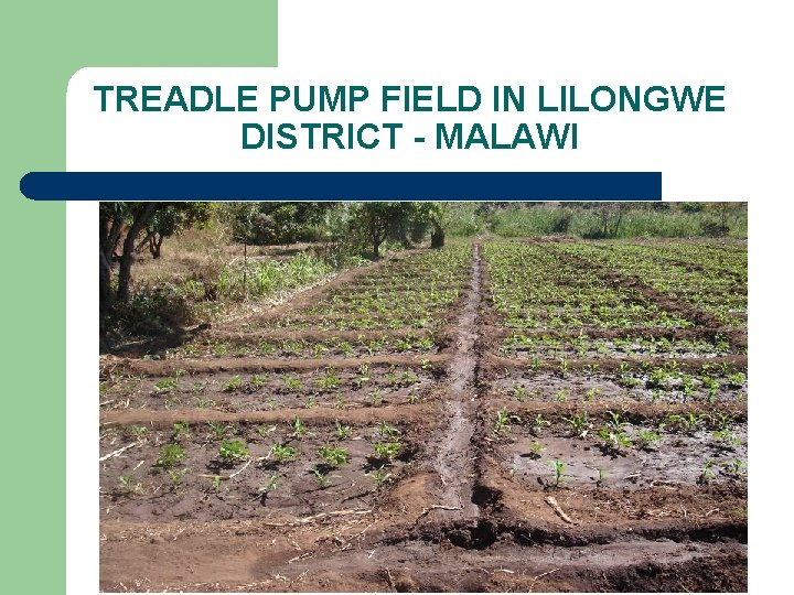 TREADLE PUMP FIELD IN LILONGWE DISTRICT - MALAWI