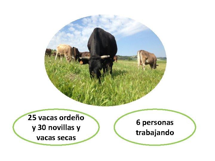 25 vacas ordeño 25 vacas de - 25 y 30 novillas y 25 vaovillas
