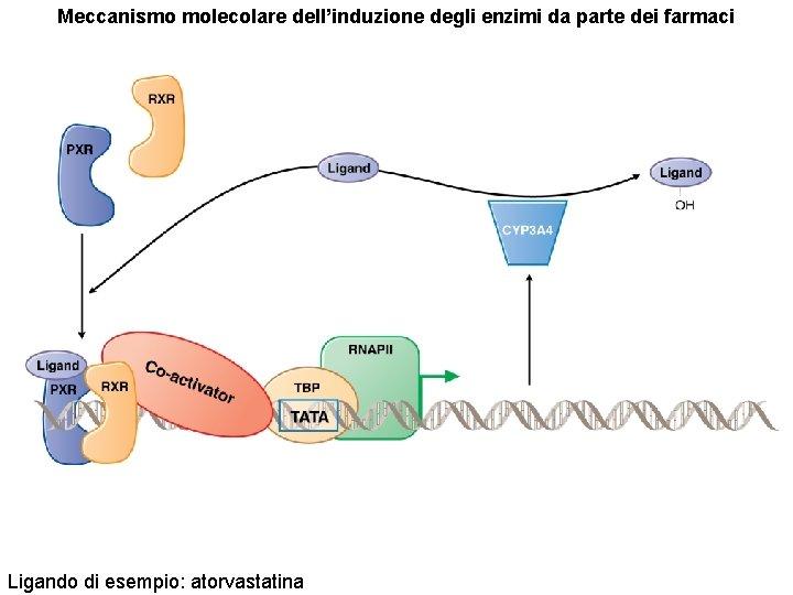 Meccanismo molecolare dell'induzione degli enzimi da parte dei farmaci Ligando di esempio: atorvastatina