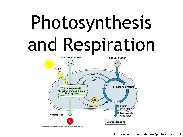Photosynthesis and Respiration http: //www. ualr. edu/~botany/photosynthrxns. gif