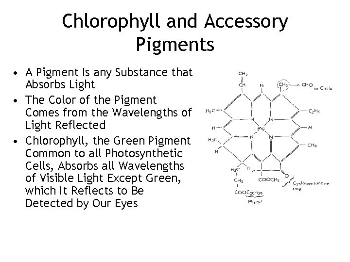 Chlorophyll and Accessory Pigments • A Pigment Is any Substance that Absorbs Light •