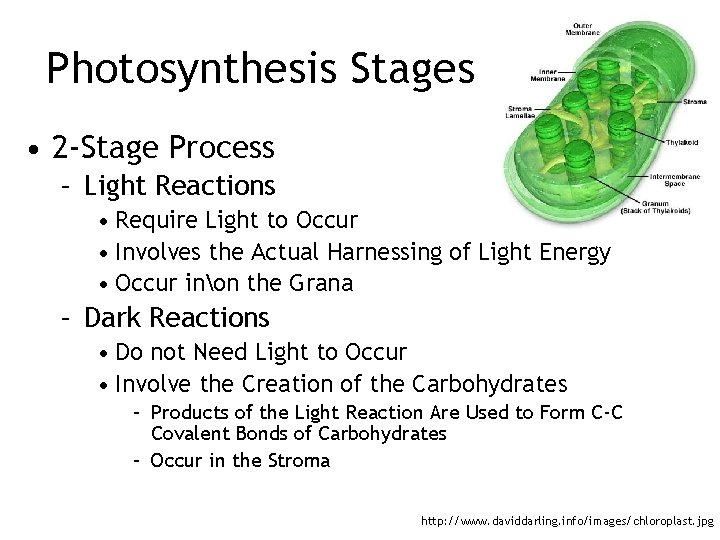 Photosynthesis Stages • 2 -Stage Process – Light Reactions • Require Light to Occur