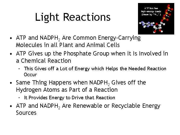 Light Reactions • ATP and NADPH 2 Are Common Energy-Carrying Molecules in all Plant