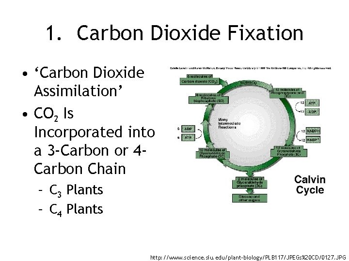 1. Carbon Dioxide Fixation • 'Carbon Dioxide Assimilation' • CO 2 Is Incorporated into