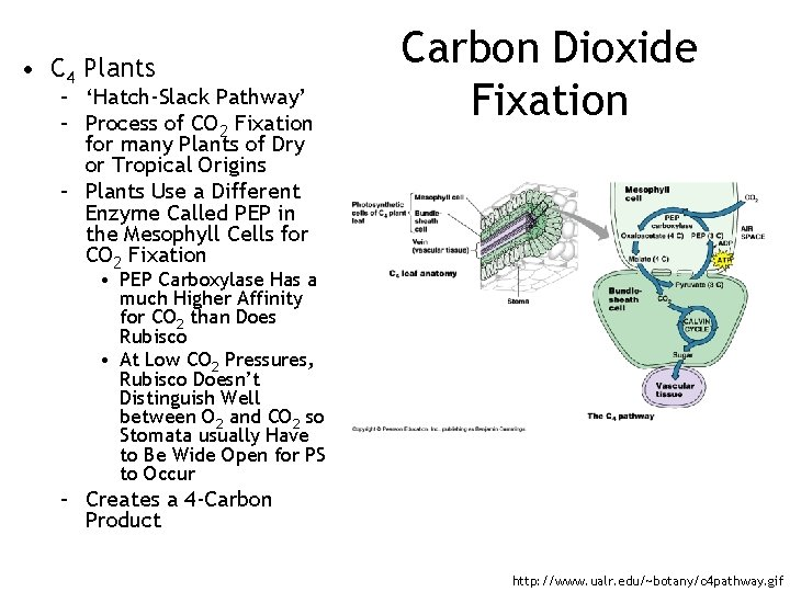 • C 4 Plants – 'Hatch-Slack Pathway' – Process of CO 2 Fixation