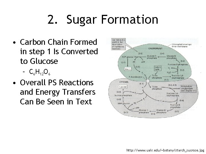 2. Sugar Formation • Carbon Chain Formed in step 1 Is Converted to Glucose