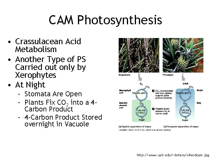 CAM Photosynthesis • Crassulacean Acid Metabolism • Another Type of PS Carried out only