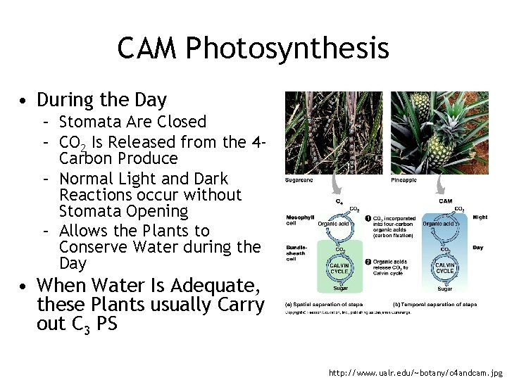 CAM Photosynthesis • During the Day – Stomata Are Closed – CO 2 Is