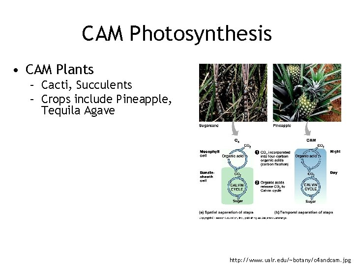 CAM Photosynthesis • CAM Plants – Cacti, Succulents – Crops include Pineapple, Tequila Agave