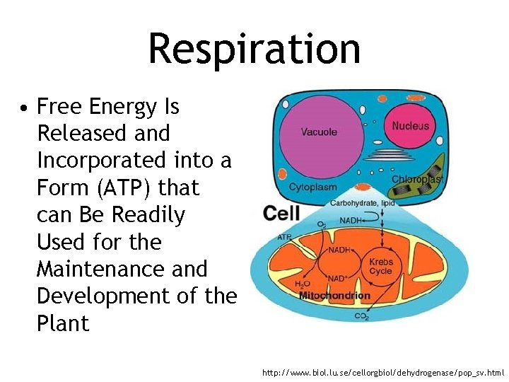 Respiration • Free Energy Is Released and Incorporated into a Form (ATP) that can