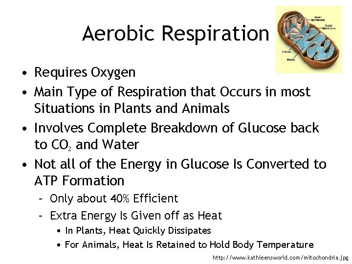 Aerobic Respiration • Requires Oxygen • Main Type of Respiration that Occurs in most