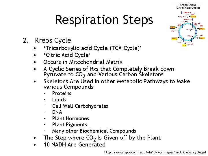 Respiration Steps 2. Krebs Cycle • • • 'Tricarboxylic acid Cycle (TCA Cycle)' 'Citric