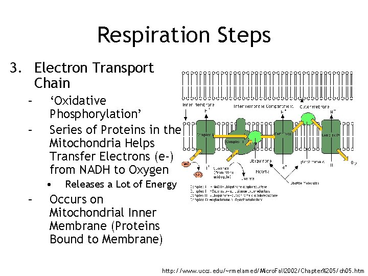 Respiration Steps 3. Electron Transport Chain – – 'Oxidative Phosphorylation' Series of Proteins in
