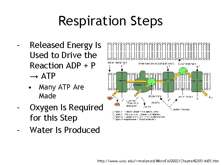 Respiration Steps – Released Energy Is Used to Drive the Reaction ADP + P
