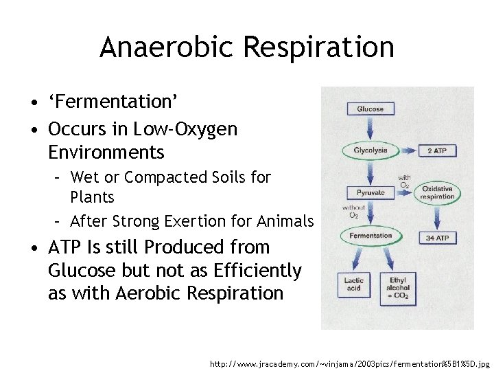 Anaerobic Respiration • 'Fermentation' • Occurs in Low-Oxygen Environments – Wet or Compacted Soils