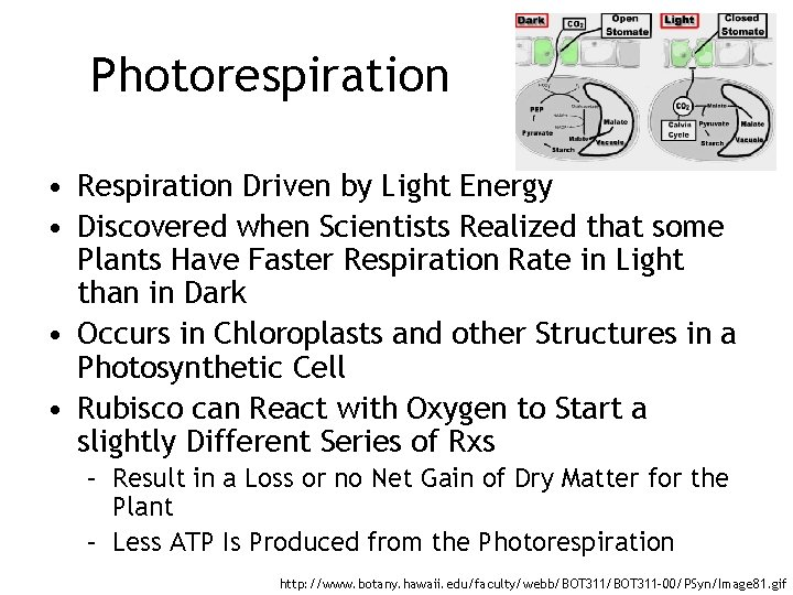 Photorespiration • Respiration Driven by Light Energy • Discovered when Scientists Realized that some