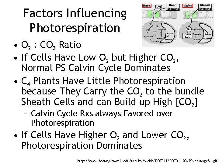 Factors Influencing Photorespiration • O 2 : CO 2 Ratio • If Cells Have