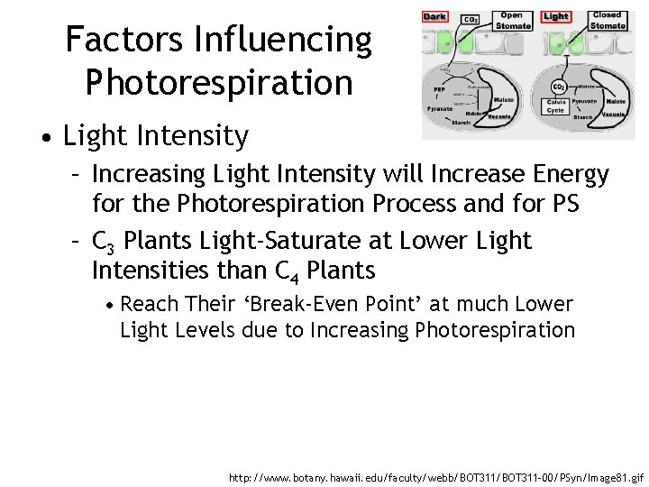 Factors Influencing Photorespiration • Light Intensity – Increasing Light Intensity will Increase Energy for