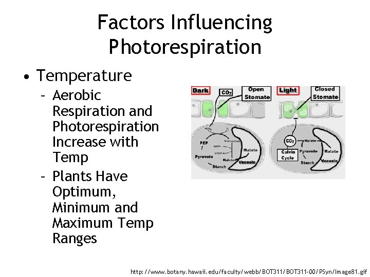 Factors Influencing Photorespiration • Temperature – Aerobic Respiration and Photorespiration Increase with Temp –