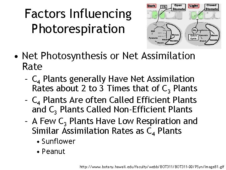 Factors Influencing Photorespiration • Net Photosynthesis or Net Assimilation Rate – C 4 Plants
