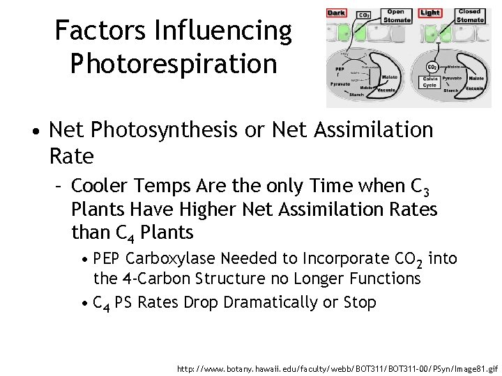 Factors Influencing Photorespiration • Net Photosynthesis or Net Assimilation Rate – Cooler Temps Are