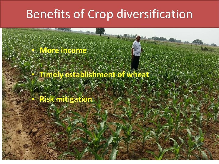 Benefits of Crop diversification • More income • Timely establishment of wheat • Risk