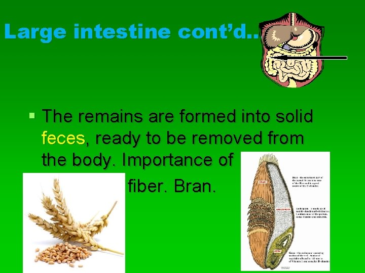 Large intestine cont'd… § The remains are formed into solid feces, ready to be