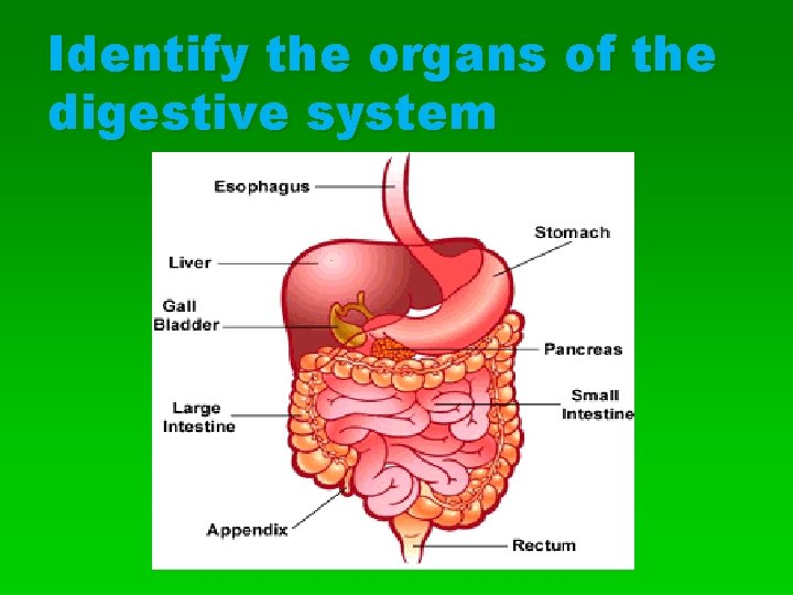 Identify the organs of the digestive system