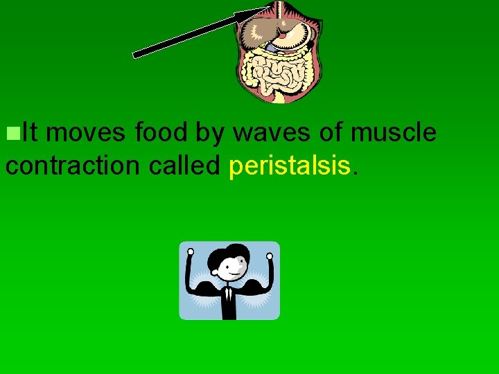 n. It moves food by waves of muscle contraction called peristalsis.